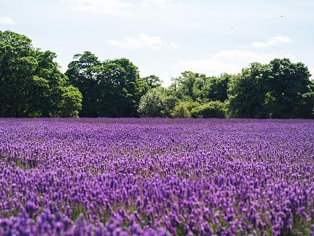 fialové pole levandule